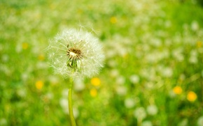 Wallpaper flowers, dandelion, spring, nature