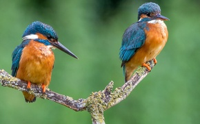 Picture bird, color, branch, feathers, beak, pair, Kingfisher, kingfisher