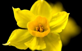 Picture flower, macro, yellow, the dark background, spring, Narcissus