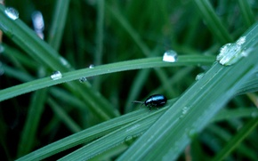 Picture grass, beetle, drops