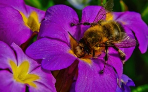 Wallpaper macro, flowers, insect, bumblebee, Primula
