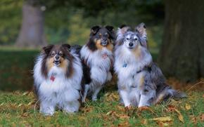 Picture autumn, dogs, trio, Trinity, sheltie, the Shetland Sheepdog