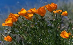 Picture Field, Spring, The wind, Spring, Field, Wind, Breeze, Orange flowers, Escholzia, California poppy