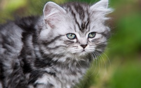 Picture mustache, kitty, British longhair cat