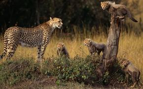 Wallpaper animals, family, Cheetah, cubs