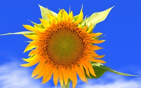 Picture flower, the sky, leaves, clouds, nature, sunflower, petals