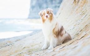 Picture look, dog, Australian shepherd, Aussie