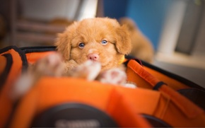 Picture look, dog, puppy, case, Nova Scotia duck tolling Retriever