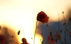 Wallpaper field, the sky, the sun, macro, sunset, flowers, Mac, Maki, silhouettes