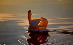 Picture WATER, WHITE, WINGS, RUFFLE, REFLECTION, POND, SUNSET, LIGHT, FEATHERS, POND, DAWN, SWAN
