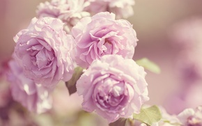 Picture macro, flowers, pink, roses, petals, buds