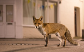 Picture fox, urban wildlife, urban fox, welcome to the jungle