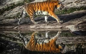 Picture tiger, reflection, predator