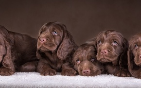 Picture puppies, six, Spaniel, chocolate