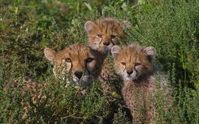 Picture children, family, mom, cheetahs