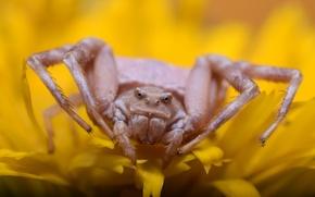 Picture background, Pistius truncate for that, spider-crab