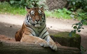 Picture cat, tiger, stone, moss, log, Amur