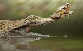 Picture frog, crocodile, mouth