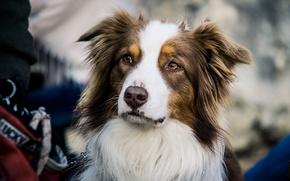 Wallpaper dog, look, Australian shepherd, each