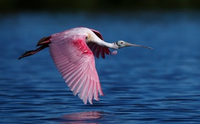 Picture water, bird, flight, Roseate spoonbill, the family of ibises