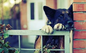 Picture the fence, fence, claws, German shepherd