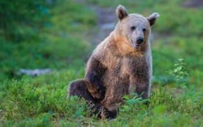 Wallpaper bear, brown bear, the Bruins