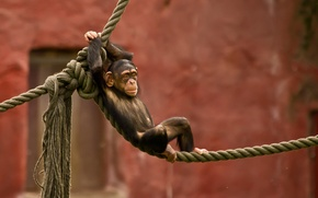 Picture photo, baby, rope, chimpanzees