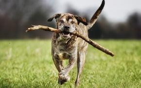 Picture each, dog, running, Italian Mastiff