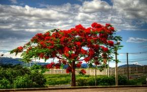 Picture clouds, landscape, tree, flowering, Delonix