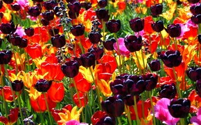 Picture flower, flowers, nature, bouquet, spring, petals, tulips, buds, a sea of flowers