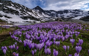 Picture flowers, mountains, meadow, crocuses, Bulgaria, Bulgaria, Rila National Park, Rila national Park, Rila Mountains, Rila …