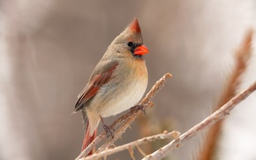 Picture bird, branch, feathers, beak, cardinal
