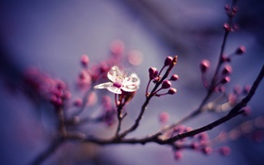 Picture flower, macro, nature, cherry, branch