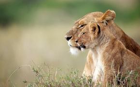 Picture lions, lioness, lion