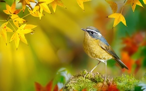 Wallpaper autumn, branches, White-browed Bush-Robin, Taiwan, yellow, bird, FuYi Chen, bokeh, leaves, moss, Tarsiger indicus, macro