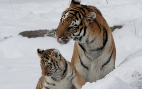 Picture cat, snow, tiger, family, pair, cub, kitty, tigress, tiger, Amur