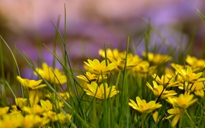 Picture summer, grass, glade, yellow flowers