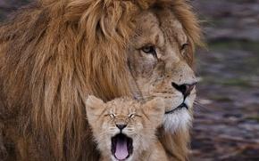 Picture reverie, confidence, power, calm, power, father, Lions, cub, son, the seriousness, carelessness, reliability, security, carelessness