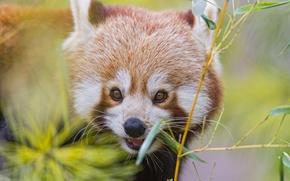 Picture branch, bamboo, red Panda, firefox, red Panda, ©Tambako The Jaguar