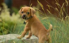 Picture grass, look, dog, puppy, Pagli