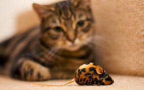 Picture mouse, Cat, observations, toy