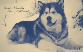 Picture dogs, snow, Malamute