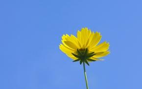 Picture flower, the sky, petals, stem, kosmeya