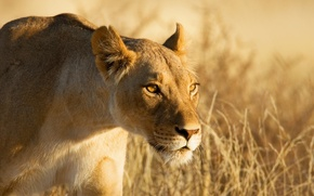 Picture look, face, hunting, lioness, sneaks