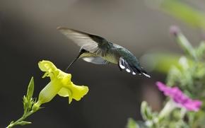 Wallpaper flowers, yellow, nature, nectar, pink, bird, Hummingbird