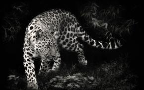 Picture predator, leopard, leopard, black and white photo