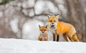 Picture winter, snow, background, Fox, Fox, bokeh, Fox