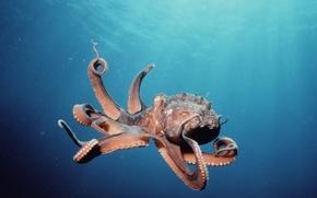 Picture underwater, ocean, octopus