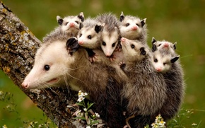 Picture tree, animals, opossums, mother and children, nature