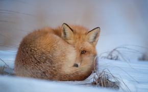 Picture fox, winter, snow, freeze, looking, wildlife, frost, curled up